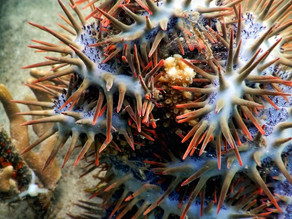 Sasha Koning on her thesis research about corallivorous invertebrates: Crown-of-Thorns Starfish