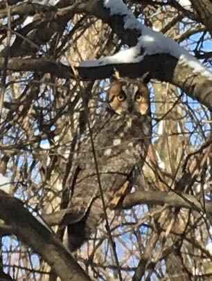 Revealed Long Earred Owl