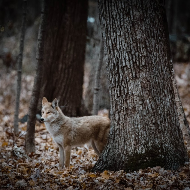 Coyote by tree