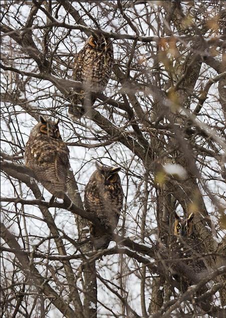 3 Long Earred Owls