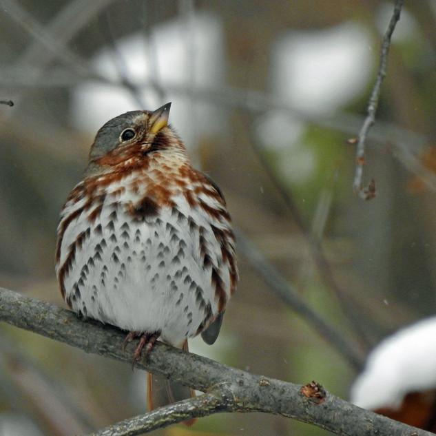 Fox Sparrow