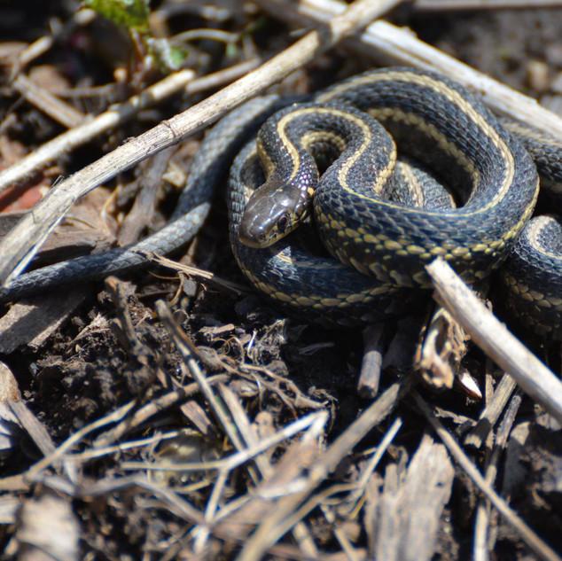 Butlers garter snake