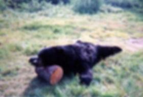 blackbear7.jpg