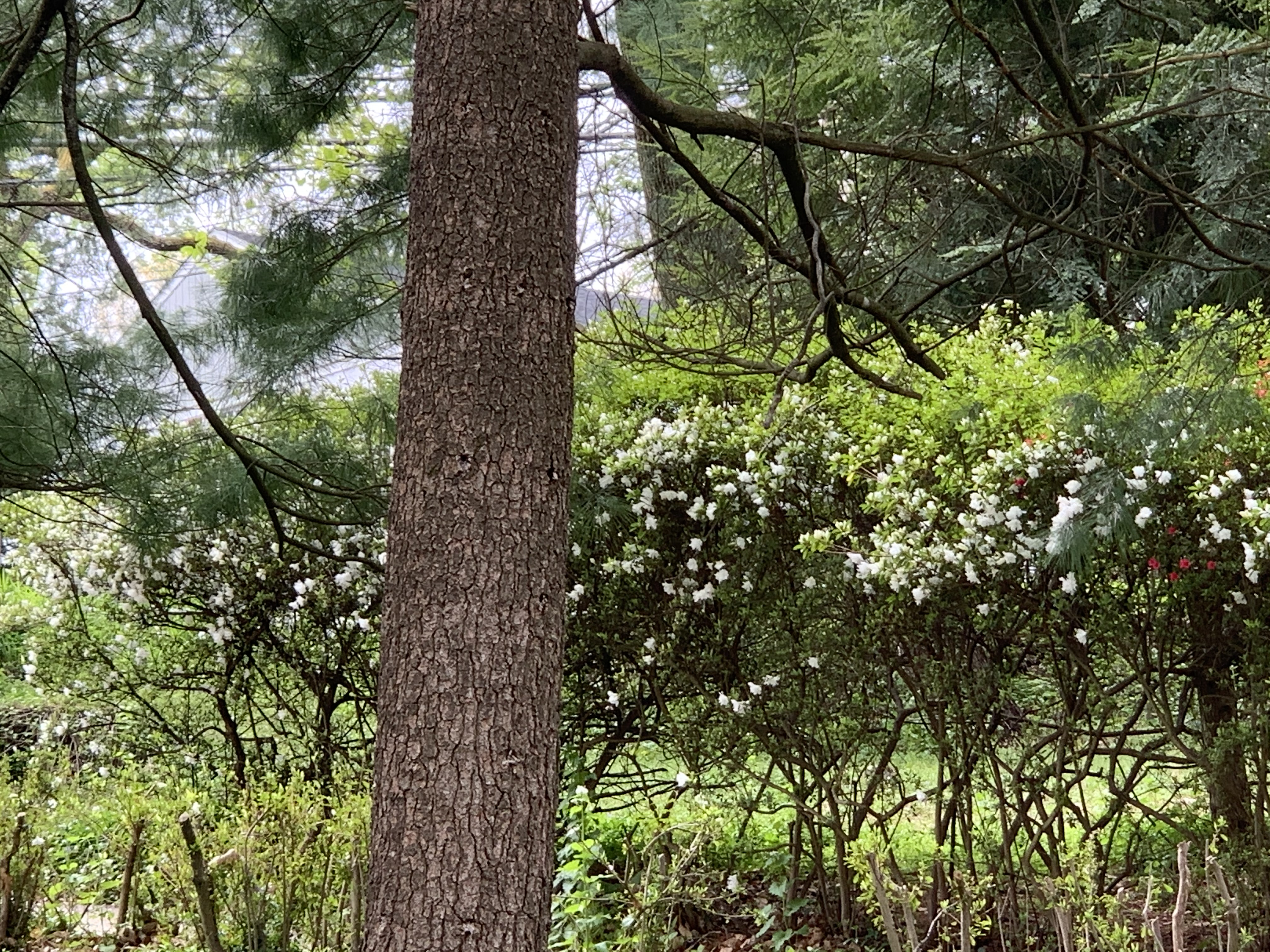 is this 1+ acre lot an azalea forest or my own front yard?