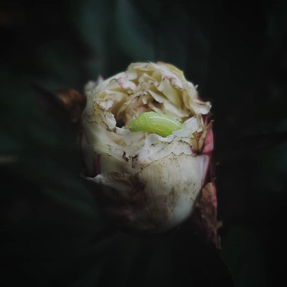 Peony and Guest