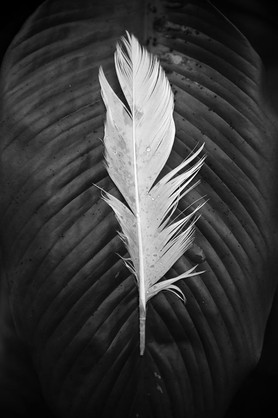 Duck Feather