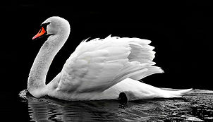 Ugly Duckling Is a Swan