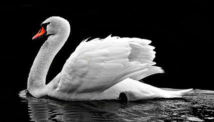 swan Pixabay Free.jpg