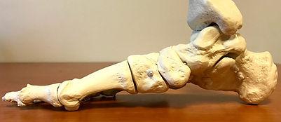 Skelet van de rechter voet
