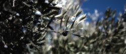 Our Picual Olives