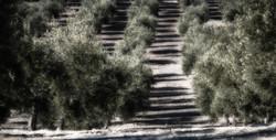 The Olive Oil Finca