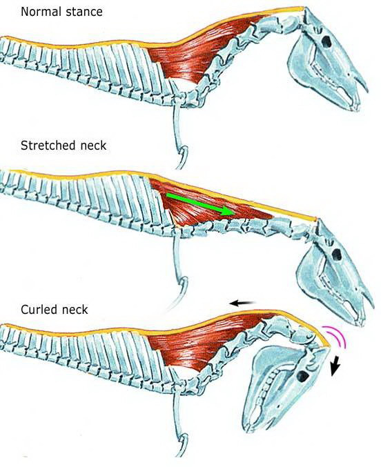 Normal stance : position naturelle ; Stretched neck : étirement encolure ; Curled neck : hyperflexion