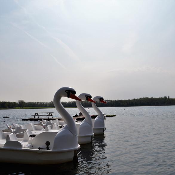 De Zwanen op het water