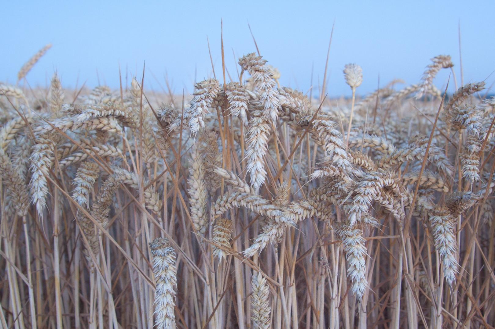Wheat crop, Norfolk, UK
