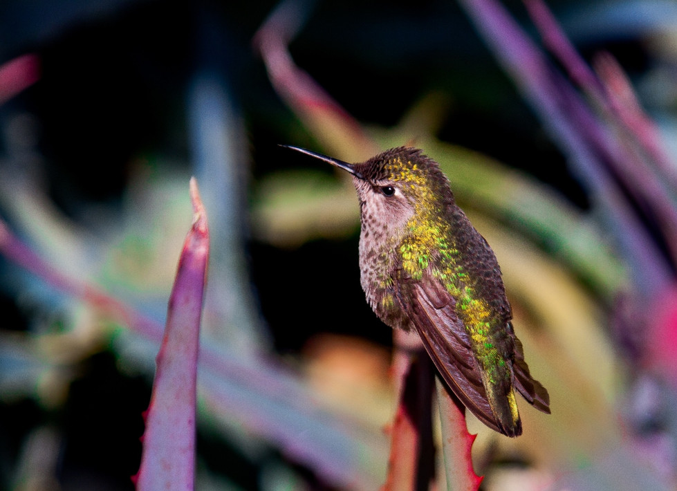 Hummingbird in California