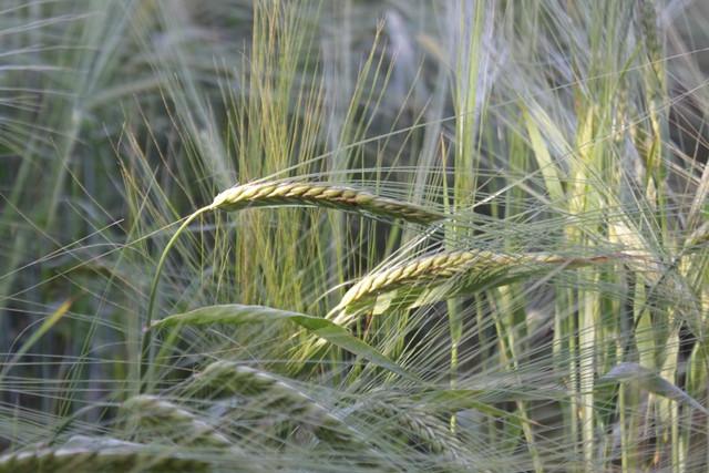 Barley at Sheringham Park NT, Norfolk, UK
