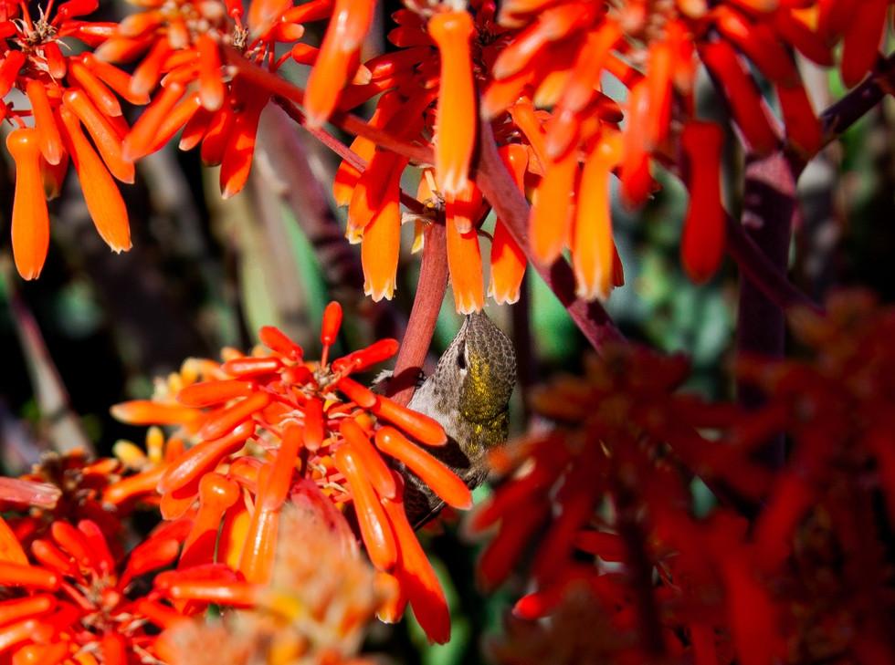 Hummingbird up-close drinking nectar California USA