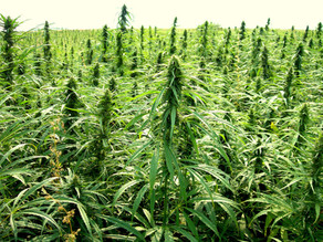 Making a Geoengineering Case for Hemp