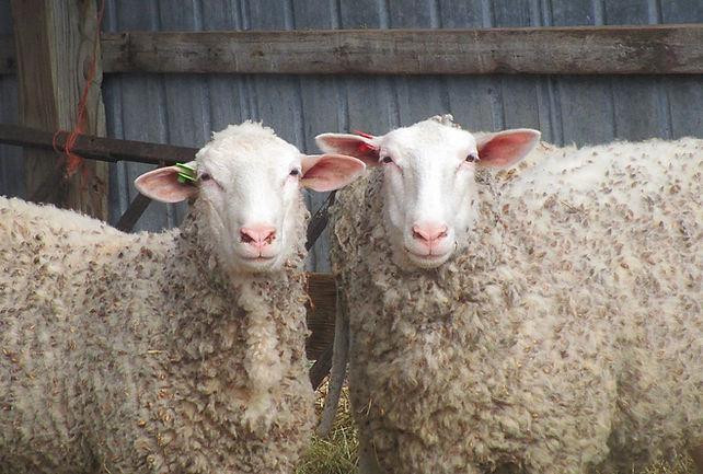 East Friesian dairy sheep.