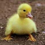 duckling8.jpg