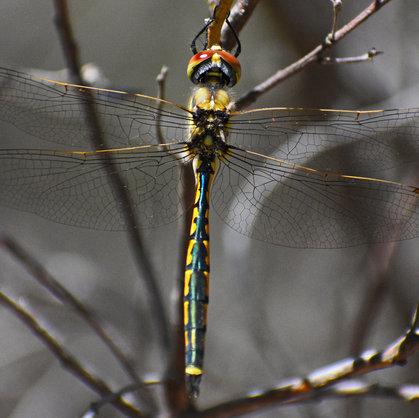 Dragonflies of Australia