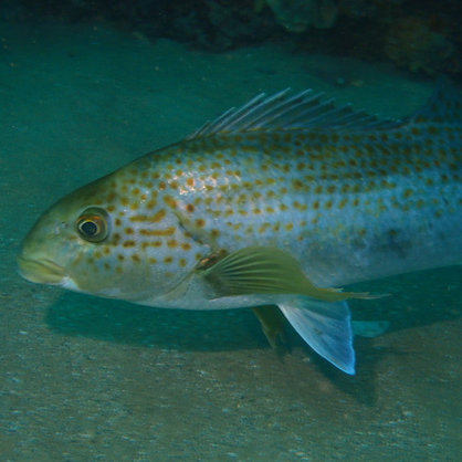Reef Fish of Greater Adelaide