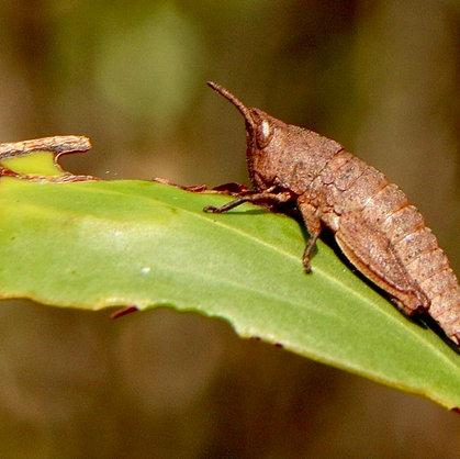 Locusts & Grasshoppers of Australia
