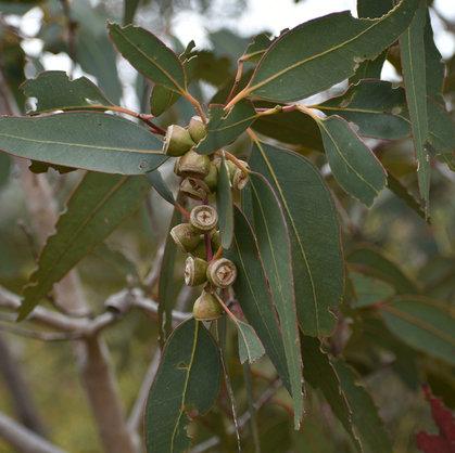 Eucalyptus Trees of Australia