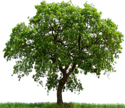 cropped-png_tree_ab_by_paradise234-d5gy7