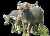 Ox-Animal-PNG-File.png