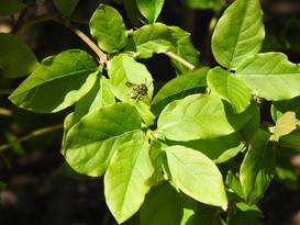 Euonymus latifolius