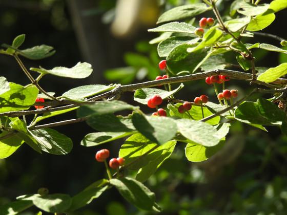 Madreselva del bosque (Lonycera xylosteum)