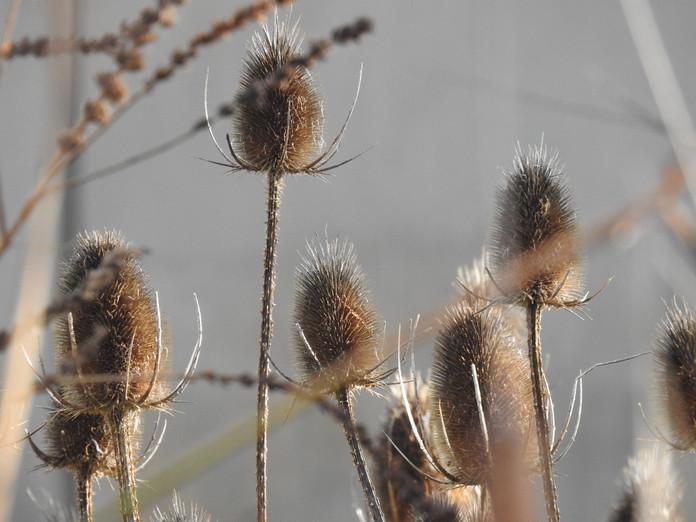 Invierno en el JBCLM - Dipsacus fullonum
