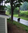 A black bear on the trail by our house