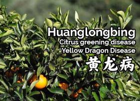 HLB? Citrus Greening Disease? Or the Yellow Dragon Disease? The citrus disease with many names