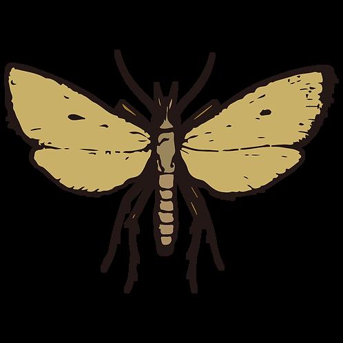 Scirpophaga incertulas