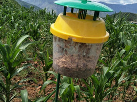 First Fall armyworm detected in Gansu Province