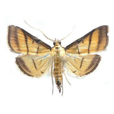 Cnaphalocrocis medinalis