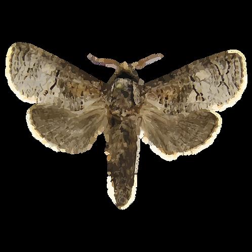 Holcocerus insularis