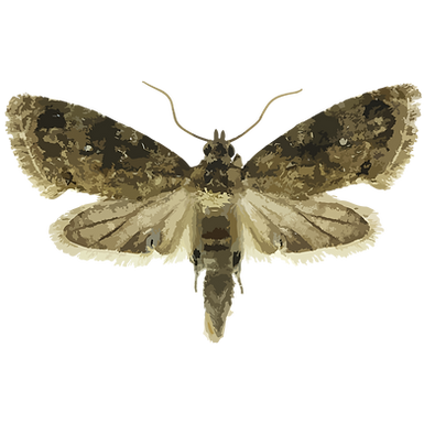 Thaumatotibia leucotreta