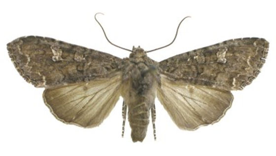 Mamestra brassicae