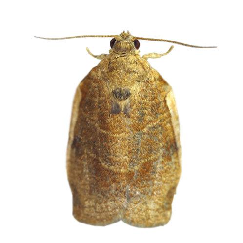 Choristoneura longicellanus