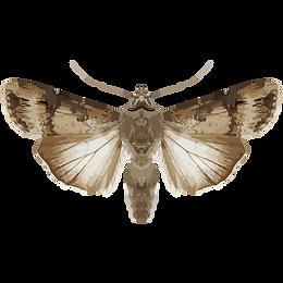Agrotis ipsilon
