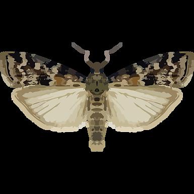 Dioryctria sylvestrella
