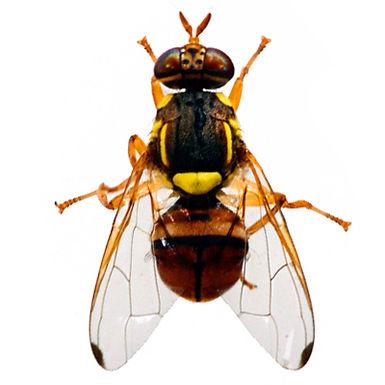 Bactrocera dorsalis
