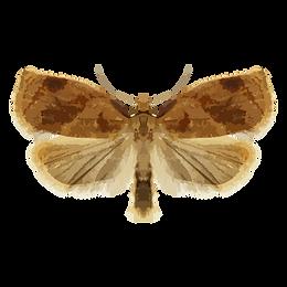 Archips breviplicanus