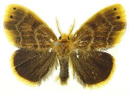 Arna pseudoconspersa