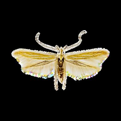 Coleophora laricella