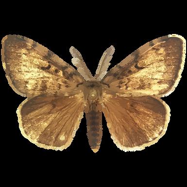 Lymantria dispar