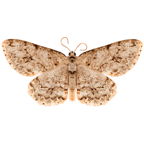 Ectropis obliqua
